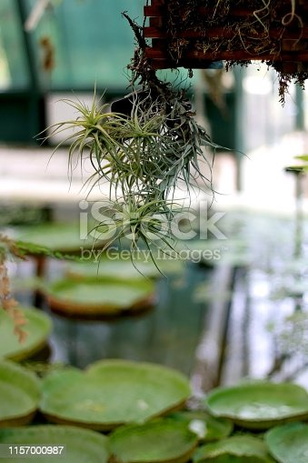 Hanging air plant in the garden, above the artificial lake. Selective focus.