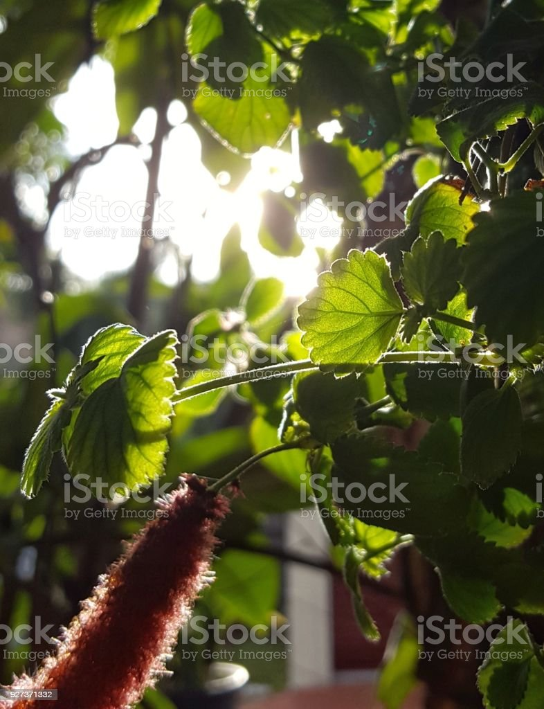 Hanging plant with fluffy red flowers. - Royalty-free Australia Stock Photo