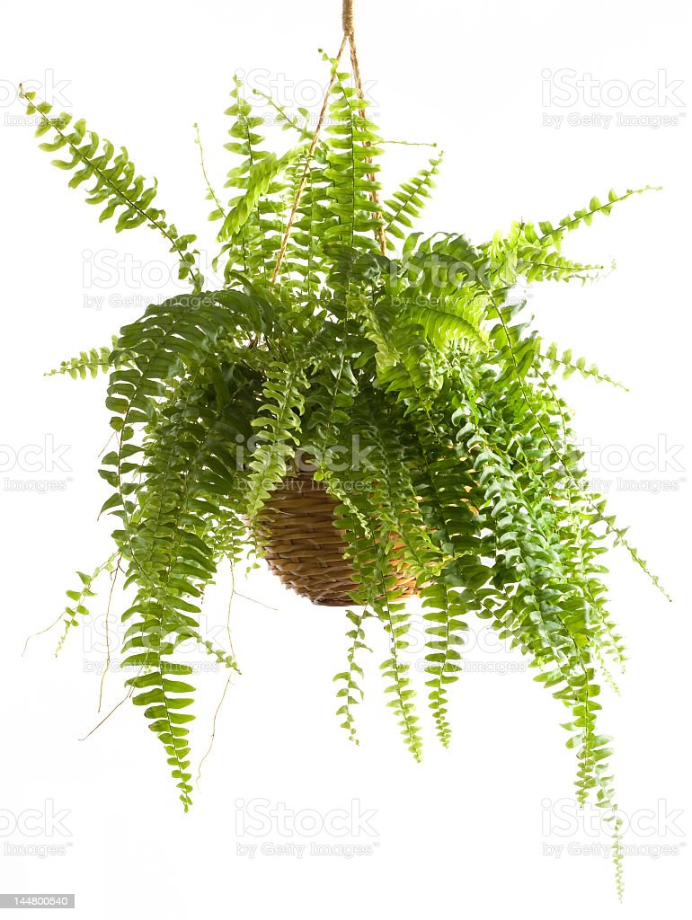 Hanging potted fern on a white background stock photo