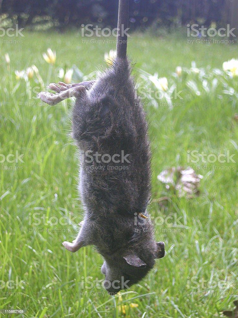 Hanging Rat stock photo