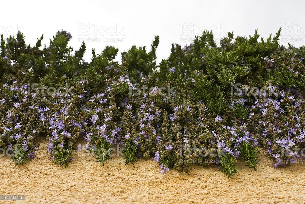 Hanging rosemary with flowers royalty-free stock photo