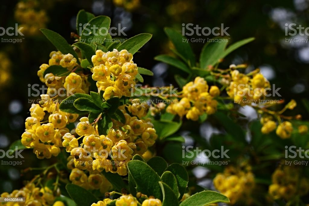 Hanging small yellow flowers and young leaves of Barberry Berberis Sieboldii on dark background stock photo