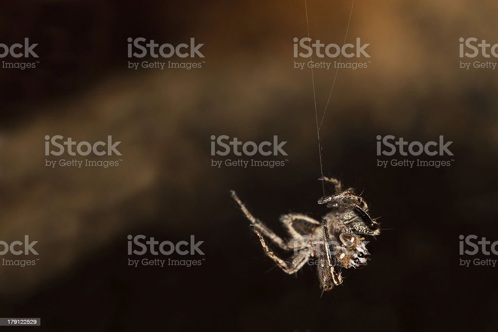 Hanging Spider royalty-free stock photo