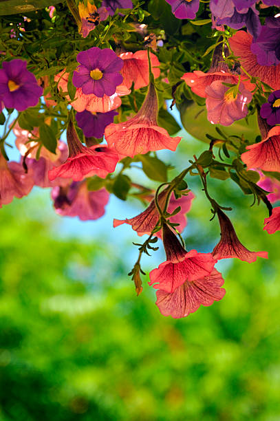 Hanging Summer Petunias stock photo