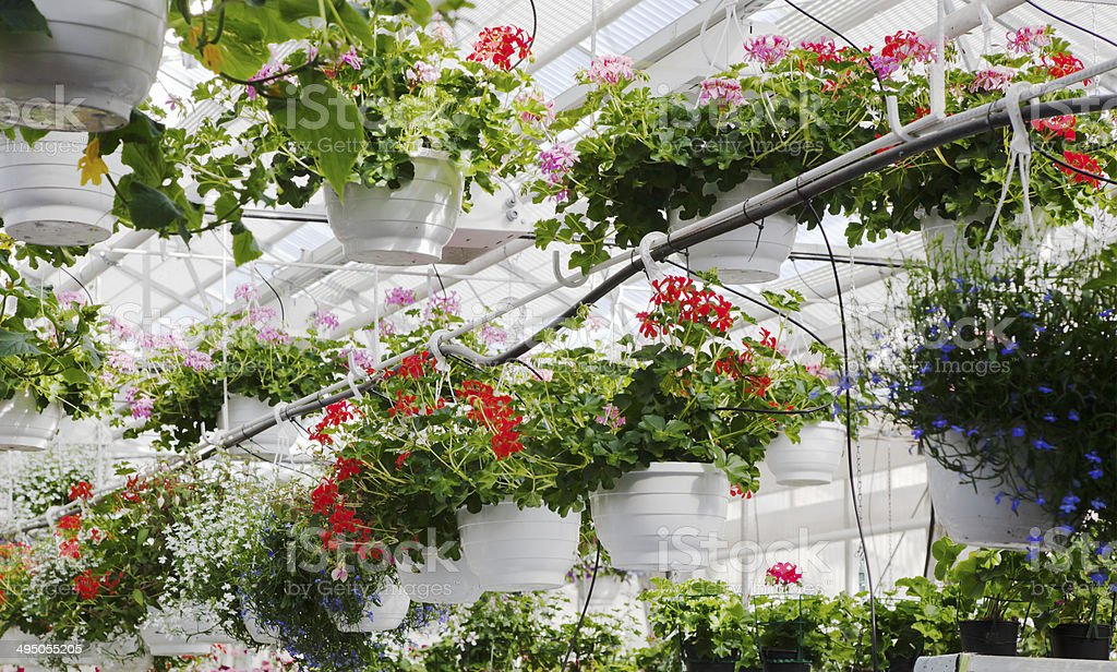 Greenhouses with hanging geraniums, begonia and other summer plants