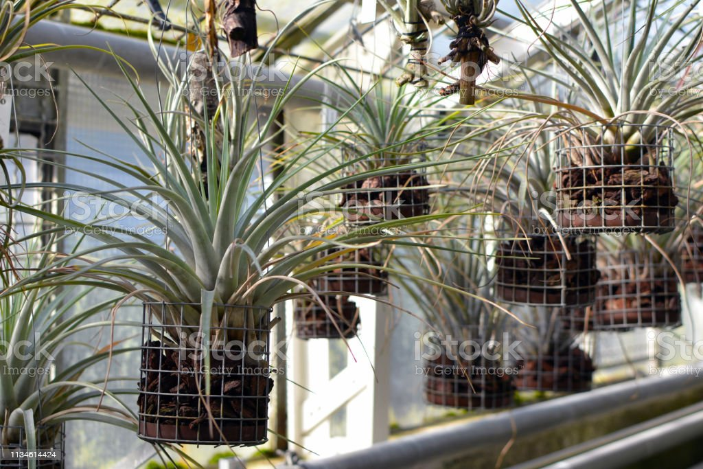 Hanging Tillandsia Airplant capable of absorbing ambient humidity without roots