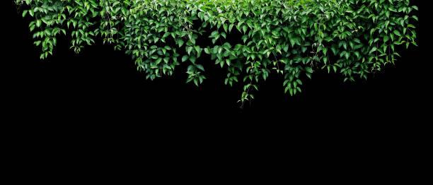 hängande vinstockar murgröna lövverk djungel buske, hjärtformade gröna blad klätt ring växt natur bakgrund banner isolerad på svart bakgrund med urklipps bana. - murgröna bildbanksfoton och bilder