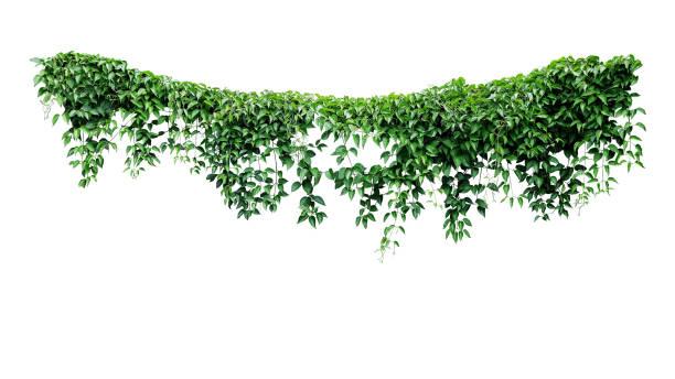 hängande vinstockar murgröna lövverk djungel buske, hjärtformade gröna blad klätt ring växt natur bakgrund isolerad på vit bakgrund med urklipps bana. - slingerväxt bildbanksfoton och bilder