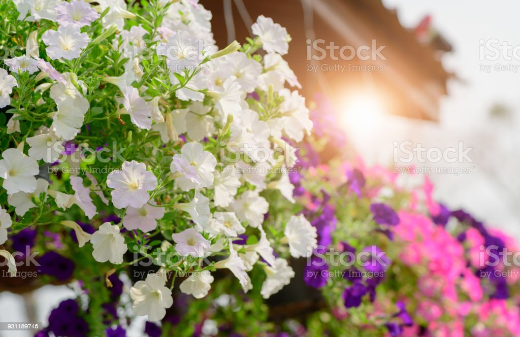 Hanging White Petunia Flower Pot Containing Stock Photo More