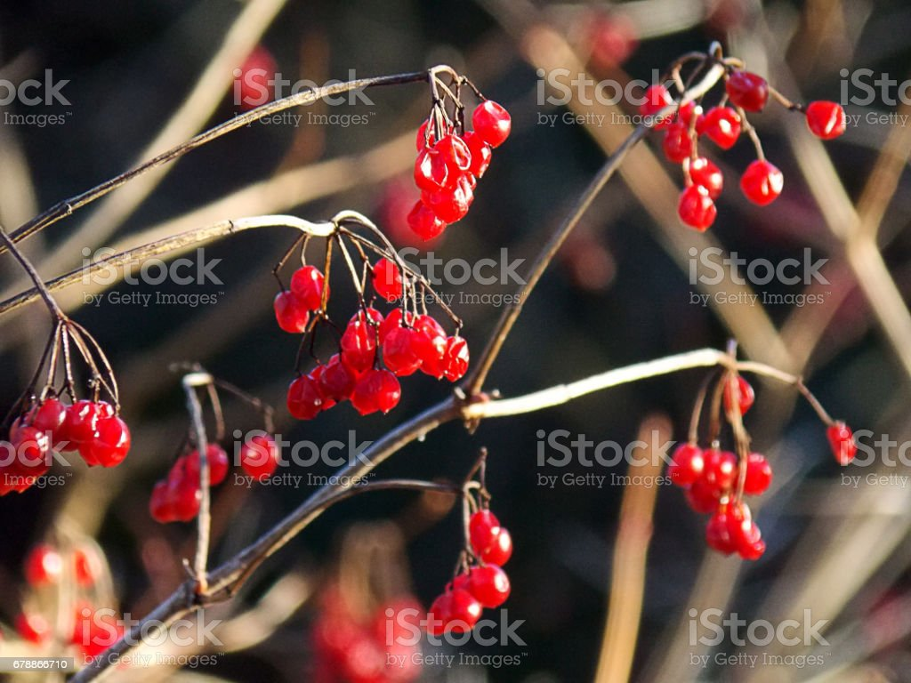 Hanging wild red berries close-up photo libre de droits