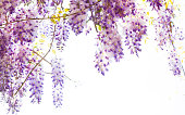Hanging Wisteria Vine With Purple Flowers With Natural Lens Flare