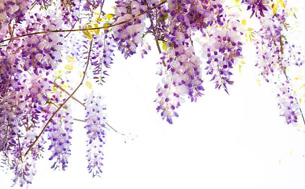 hanging glyzine vine mit lila blumen - blauregen stock-fotos und bilder