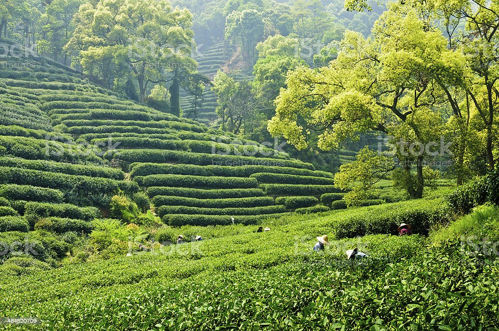 Hangzhou   tea plantation stock photo