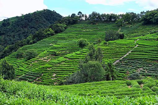 Hangzhou West Lake Longjing Tea fields