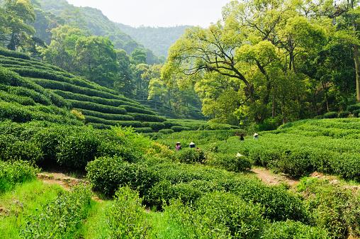 Hangzhou west lake longjing tea garden scenery