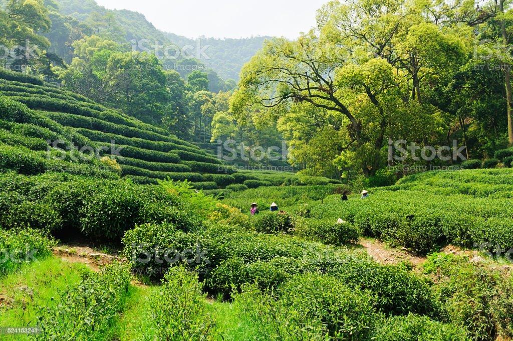 Hangzhou west lake longjing tea garden scenery stock photo