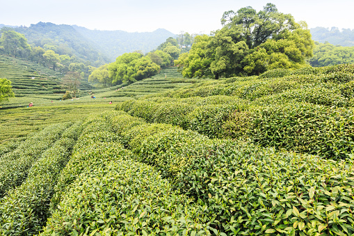 Hangzhou west lake longjing tea garden scenery,china