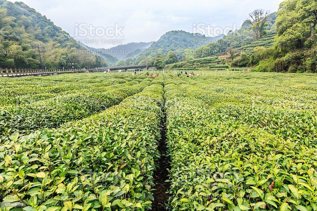Hangzhou west lake longjing tea garden scenery,china stock photo