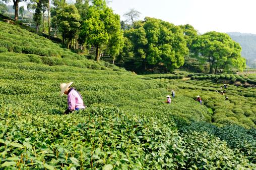 Hangzhou west lake longjing tea plantations