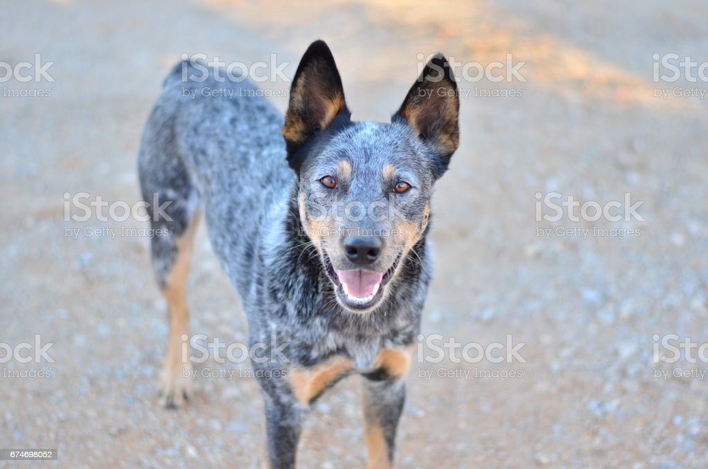 Legs Anatomy Diagram Dog Blue Heeler - Trusted Wiring Diagram •