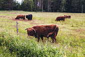 istock Hanko Finland, highland cattle eating on a field 1025566608