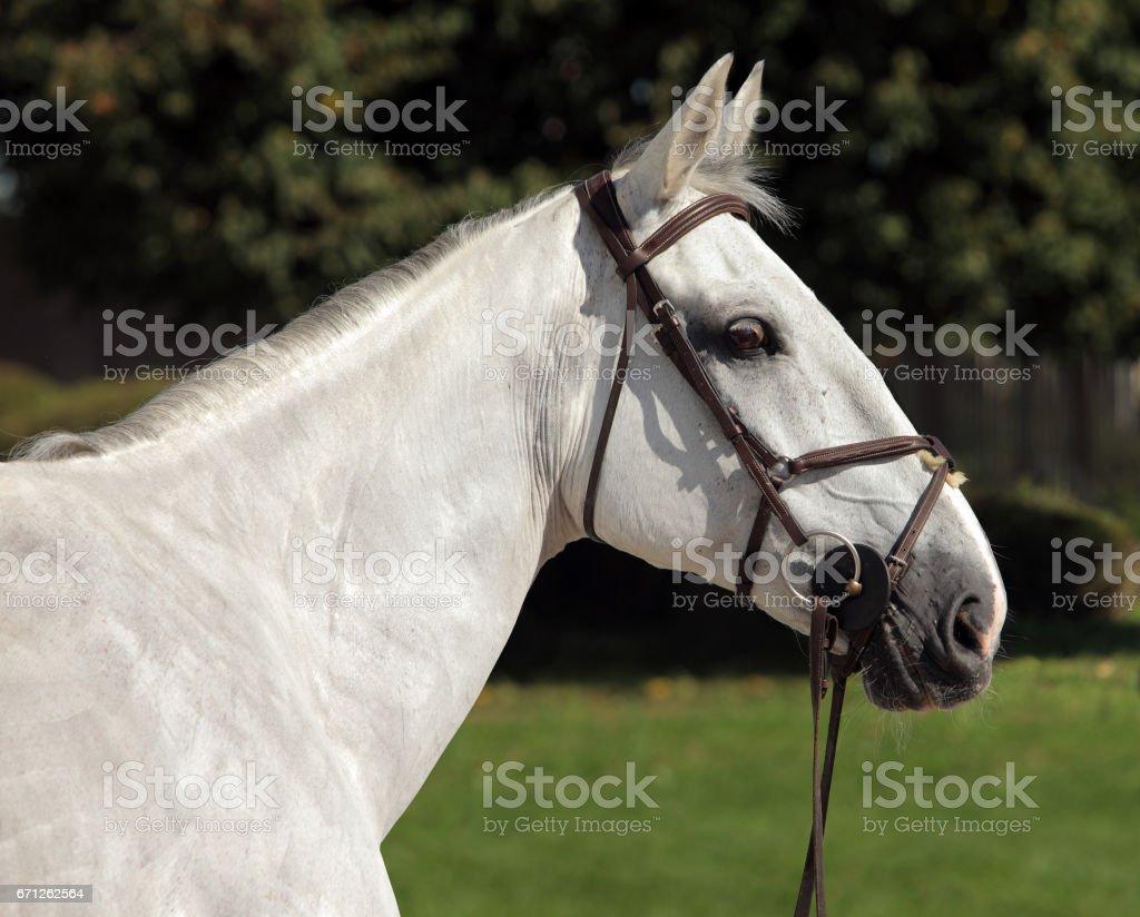Hanoverian horse portrait stock photo