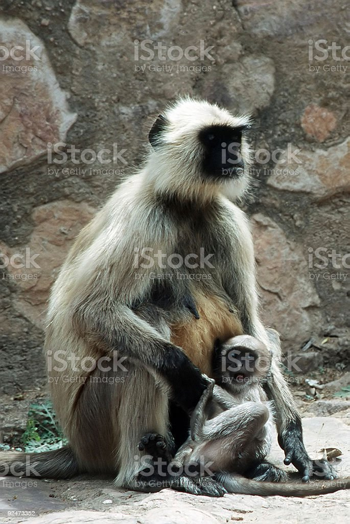 Hanuman Langur royalty-free stock photo