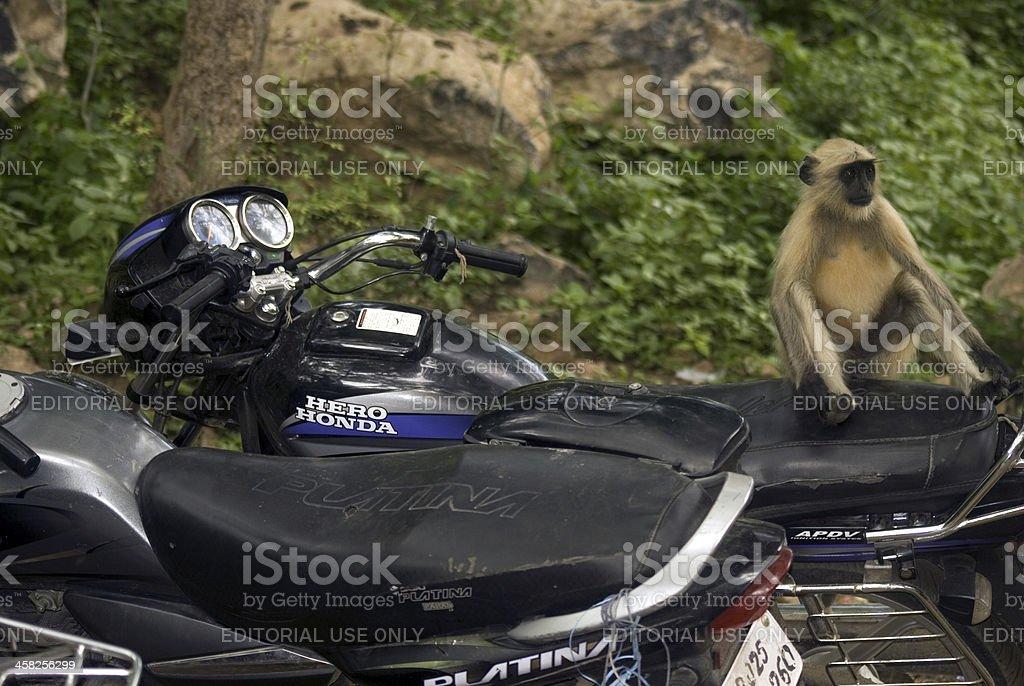 Hanuman langur, Ranthambore National Park, Rajasthan,  India royalty-free stock photo