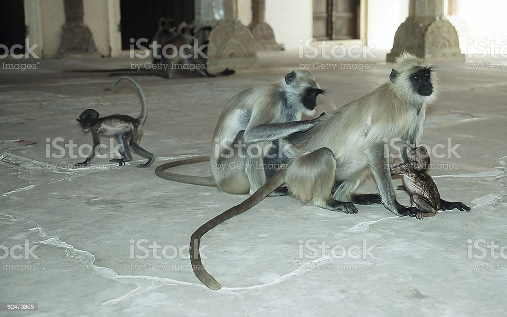 Hanuman Langurs royalty-free stock photo