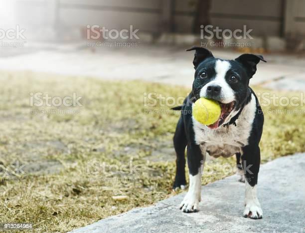 Happily excited staffordshire bull terrier with ball in it mouth picture id913264984?b=1&k=6&m=913264984&s=612x612&h=fhfl0rasolmixhy3jfxrkucle4jsblw49me1j8w9kii=