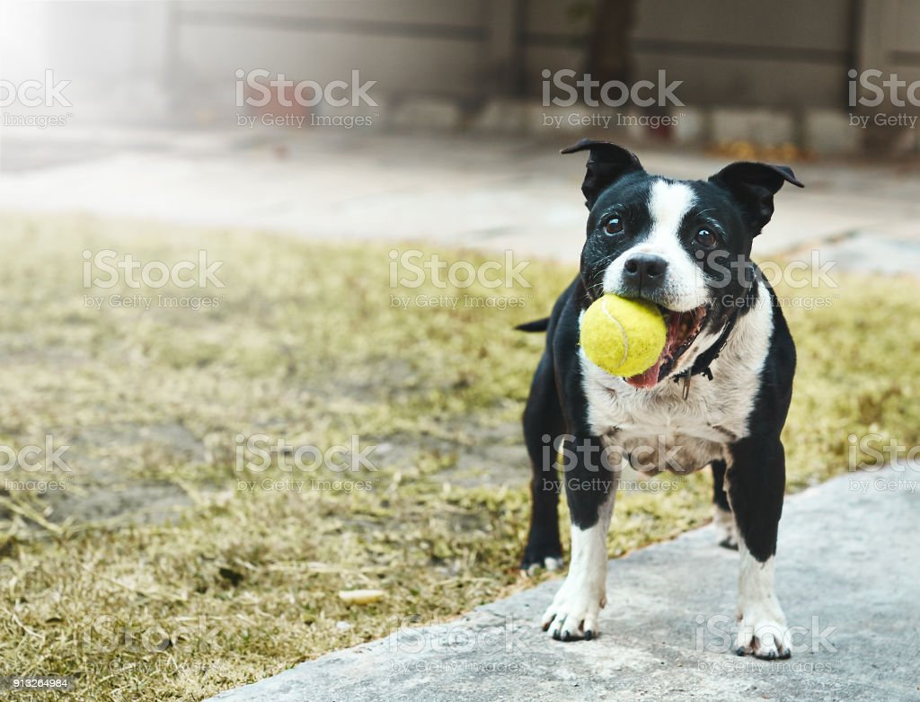 Happily excited Staffordshire bull terrier with ball in it mouth stock photo