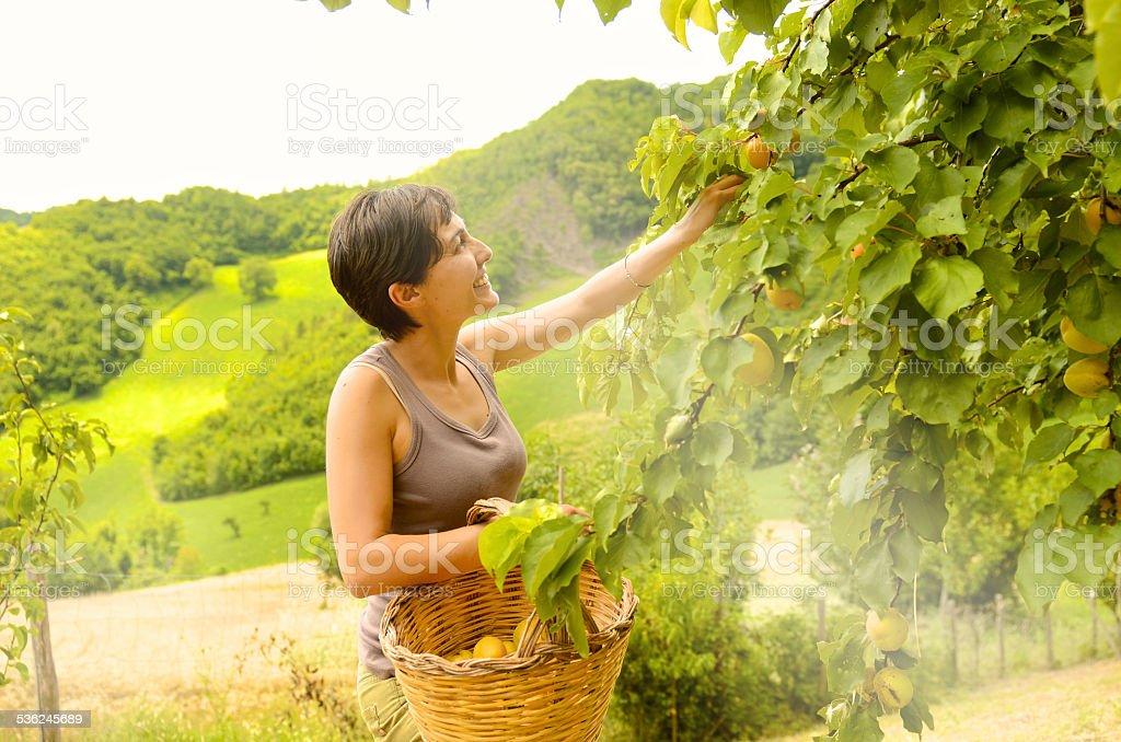 Gerne nehmen wir aus der Pflanze Aprikosen – Foto