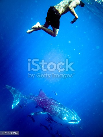 This stunning Whale Shark (Rhincodon typus) footage was captured at Ko Haa islands in the Andaman Sea, Krabi, Thailand. Whale sharks are pelagic fish who feed on plankton, small fish and are the largest of the extant species. They are classed as vulnerable to extinction on the IUCN red list, due to being hunted for their meat and liver oil, however are now a protected species. One unrecognisable man is swimming with this peaceful Shark.