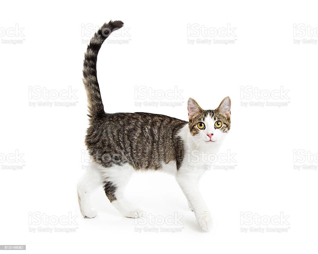 Happy Active Cat Walking on White stock photo