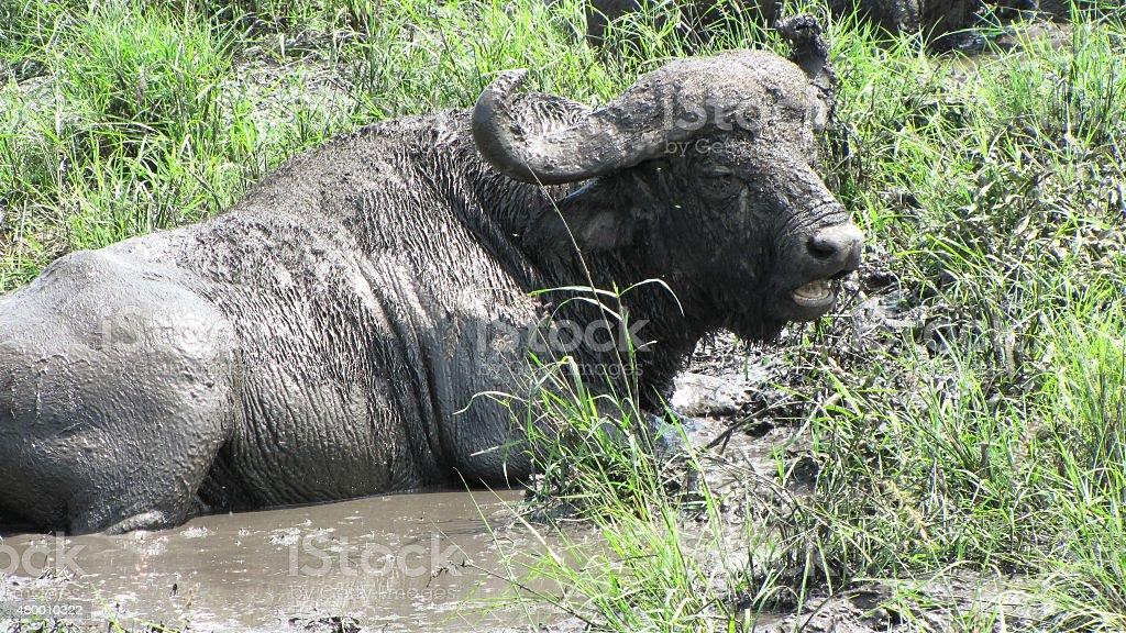 Happy African Buffalo in SPA stock photo