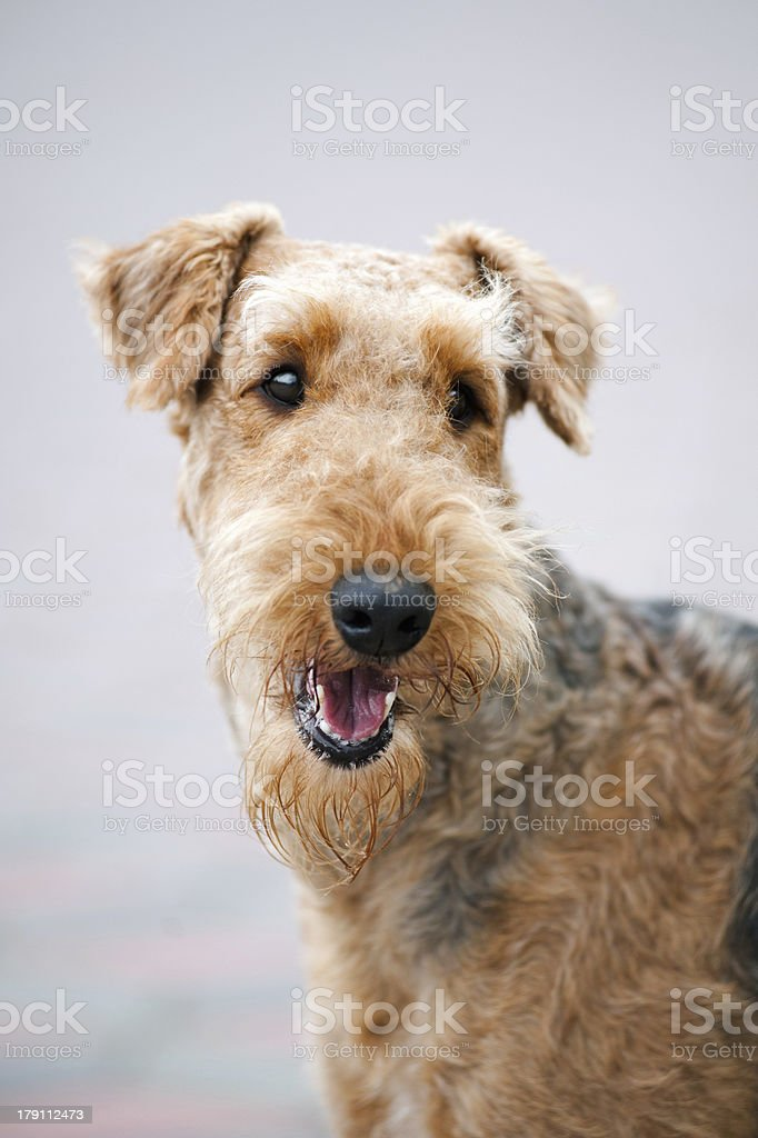 happy Airedale Terrier portrait stock photo