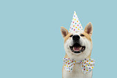 istock Happy akita dog celebrating birthday or carnival wearing party hat and bowtie. Isolated on blue colored background. 1285506327