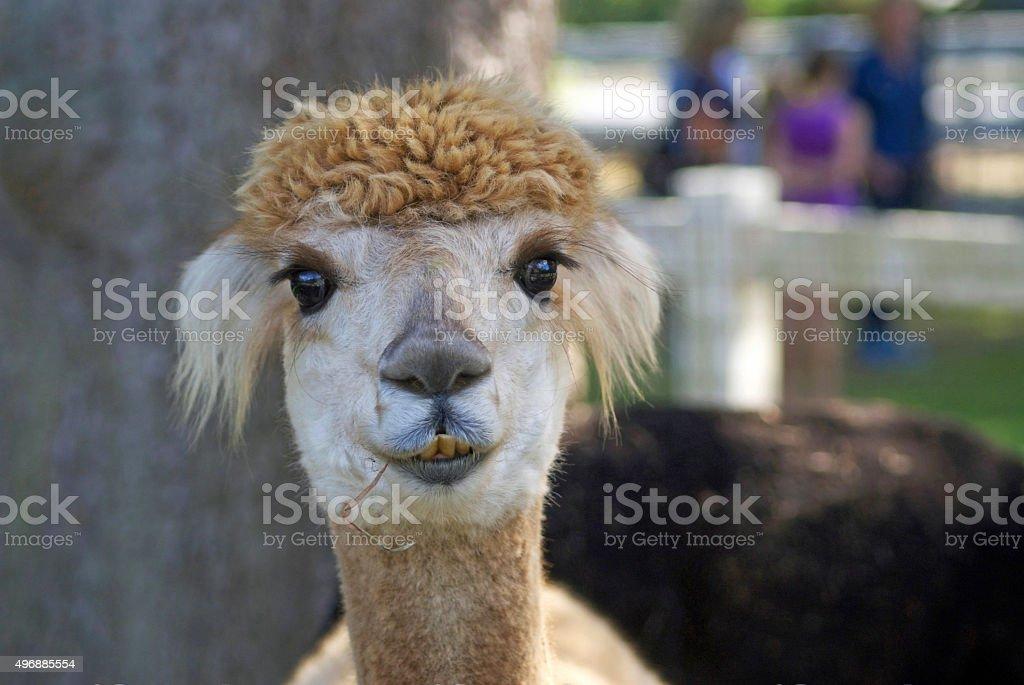Happy Alpaca in a Paddock stock photo