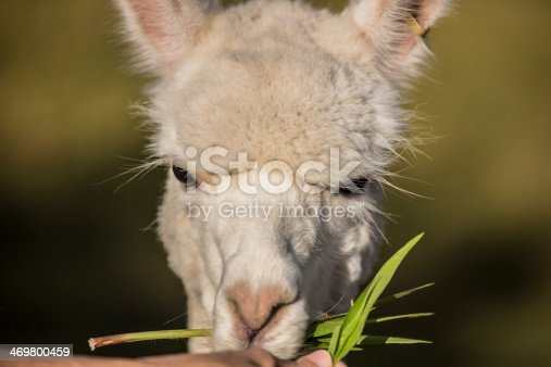happy Alpaca being fed grass, eating, with green grassy background
