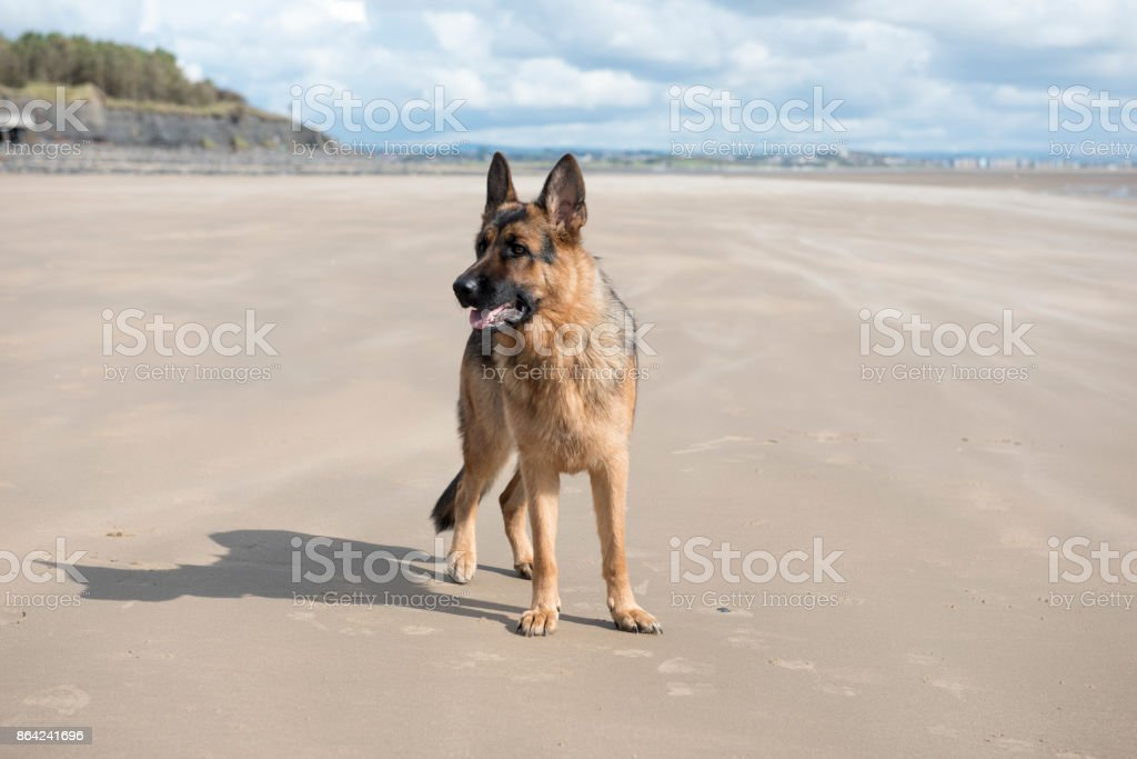 Happy Alsatian dog playing on a sandy beach royalty-free stock photo