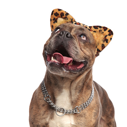 istock happy american bully wearing animal print ears and looking up 1179991248