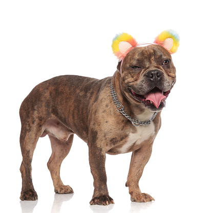 istock happy american bully wearing coloured ears and silver collar 1179989559
