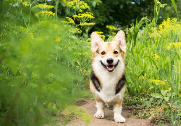 glücklich und aktive welsh corgi rassehund in der blüte an einem sonnigen sommertag im freien. - welsh corgi pembroke stock-fotos und bilder