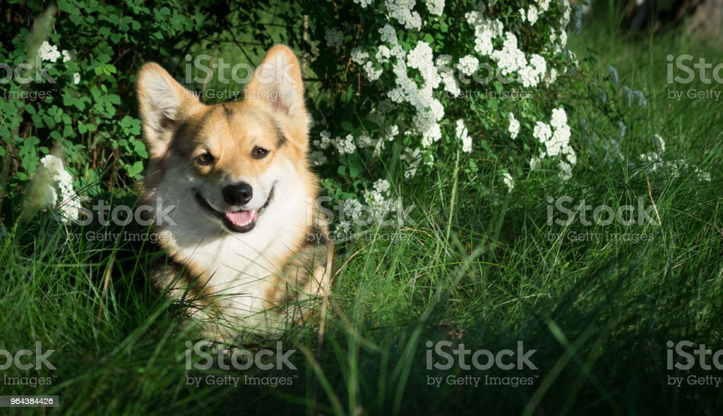 Feliz e ativo Galês Corgi cão de raça pura ao ar livre nas flores em um dia ensolarado de verão. - Foto de stock de Amizade royalty-free