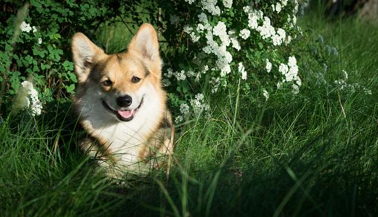 Foto de Feliz E Ativo Galês Corgi Cão De Raça Pura Ao Ar Livre Nas Flores Em Um Dia Ensolarado De Verão e mais fotos de stock de Amizade