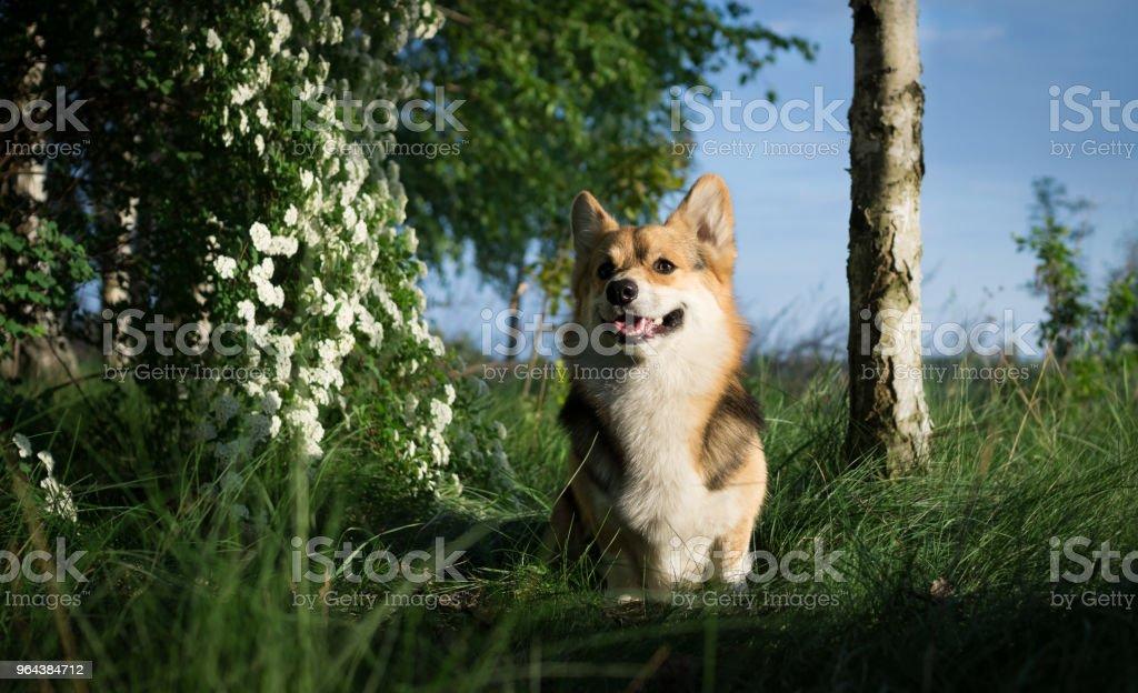 Gelukkig en actieve rasechte Welsh Corgi hond buiten in de bloemen op een zonnige zomerdag. - Royalty-free Bloem - Plant Stockfoto