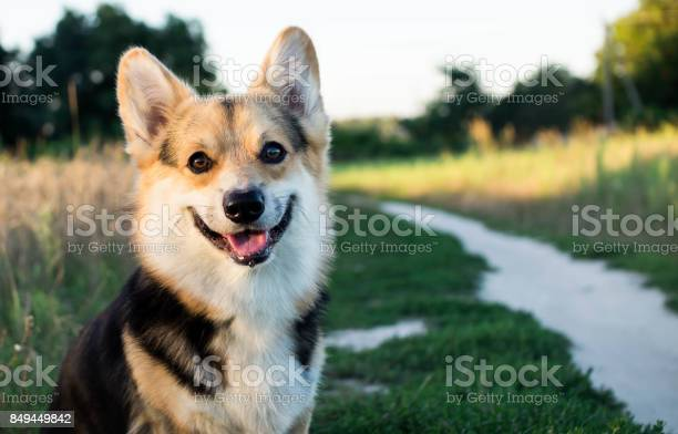 Happy and active thoroughbred welsh corgi dog outdoors by the road on picture id849449842?b=1&k=6&m=849449842&s=612x612&h=qd0vtzmpiiuojbfbeyqyulripec1ppc2mw30vn6npqg=