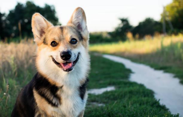 ein glücklich und aktiv vollblut welsh corgi hund draußen an der straße an einem sonnigen tag. - welsh corgi pembroke stock-fotos und bilder