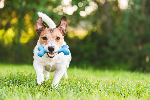 Happy and cheerful dog playing fetch with toy bone at backyard lawn