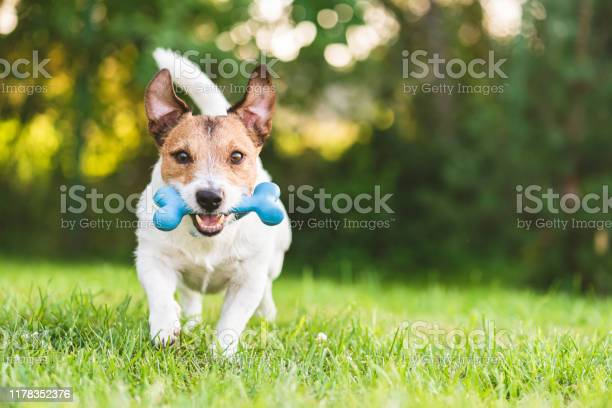 Happy and cheerful dog playing fetch with toy bone at backyard lawn picture id1178352376?b=1&k=6&m=1178352376&s=612x612&h=vnlwmiltjk1qu2r8whe9bueoi5yvvdh0wmbhex06lxo=